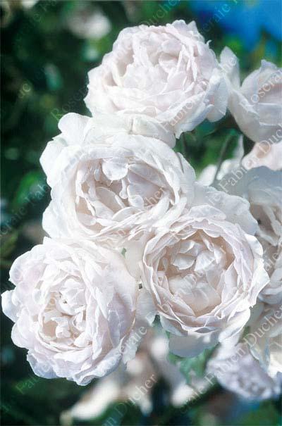 roseraie fabien ducher rose aim e vibert ou bouquet de la mari e. Black Bedroom Furniture Sets. Home Design Ideas