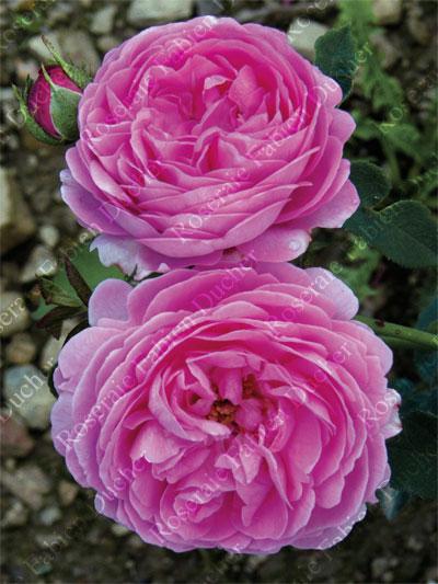 roseraie fabien ducher rose archiduchesse elisabeth d 39 autriche. Black Bedroom Furniture Sets. Home Design Ideas