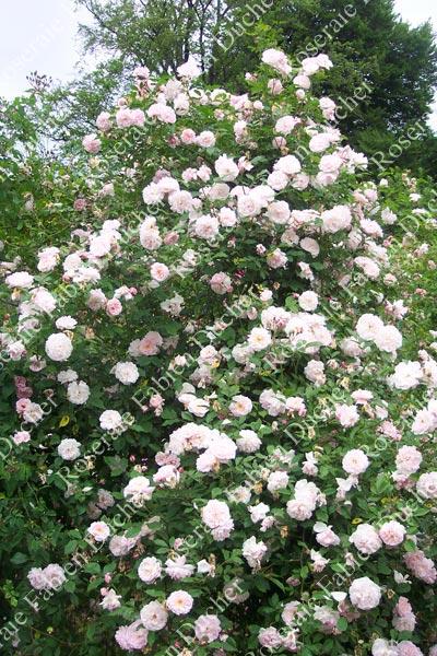 Cecile Brunner Polyantha Rose Rose Cecile Brunner Grimpant