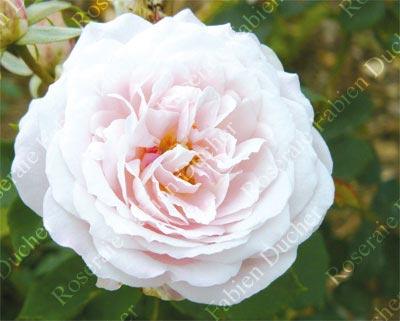 rosier Clio