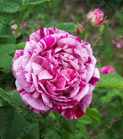 rose Commandant Beaurepaire