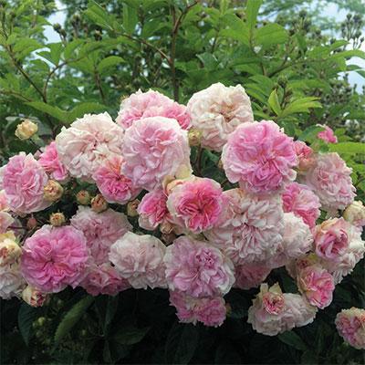 rosier Pink Ghislaine de Féligonde
