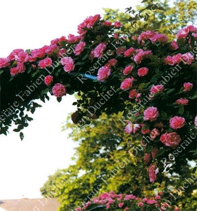roses fabien ducher rose zephirine drouhin. Black Bedroom Furniture Sets. Home Design Ideas
