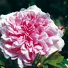 rose Enfant de France