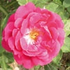 rose Louis Noisette