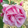 rose Madame Driout