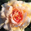 rose Mrs Aaron Ward